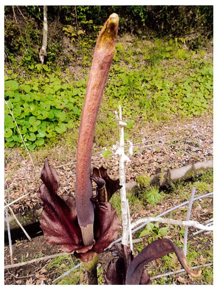 コンニャクの花1