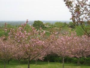 関山桜(4月下旬頃)