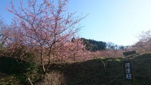 ~野見金公園の河津桜は5分咲きです~ 平成28年2月19日現在