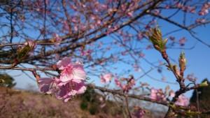 ~河津桜はもうすぐ満開です~